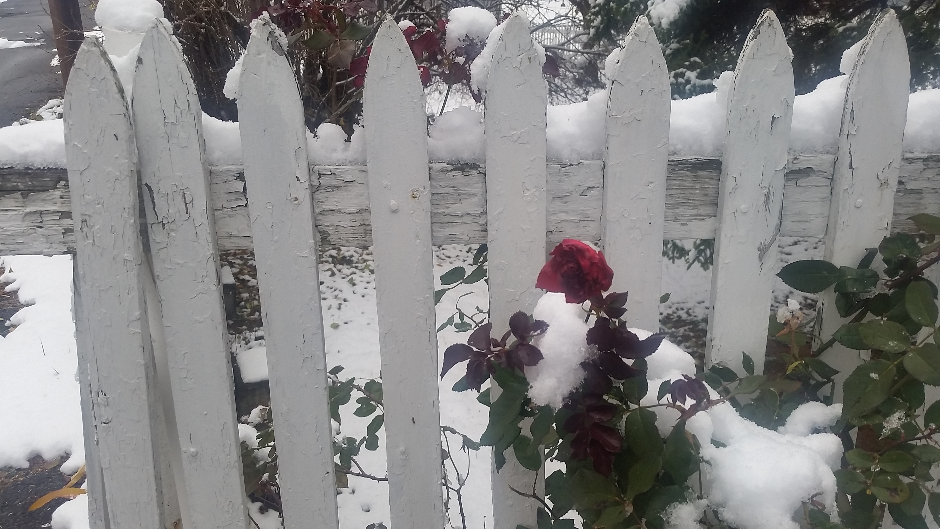 Winter-White-Fence-Snow-Rose